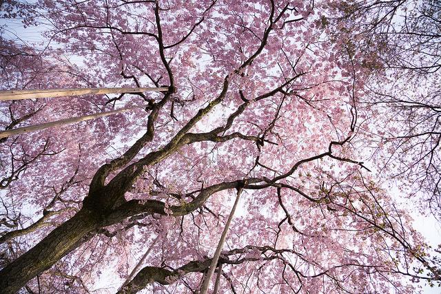 新入社員が増える時期に桜もきれい